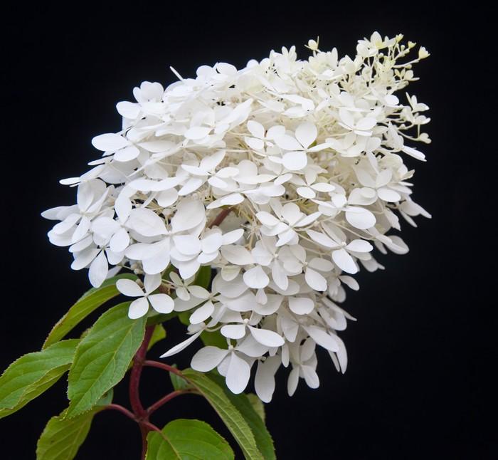 Vinylová Tapeta Bíle kvetoucí rostliny Hydrangea Paniculata Phantom - Květiny