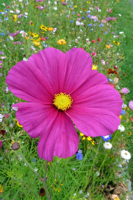 Vinylová Tapeta Pinke Blume auf bunter Blumenwiese - Květiny