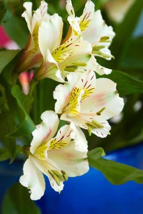 Vinylová Tapeta Alstroemeria lilie - Květiny