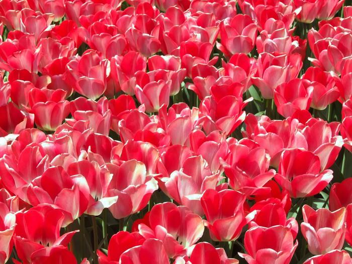 Tableau sur Toile Tulipes rouges tapis de fond - Thèmes