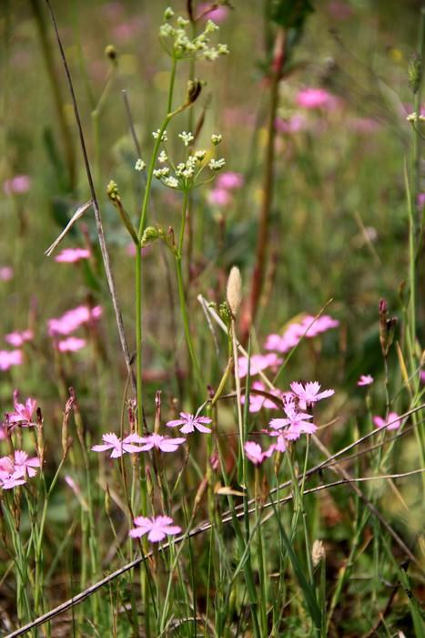 Vinylová Tapeta Маленькие фиолетовые цветочки в поле - Květiny