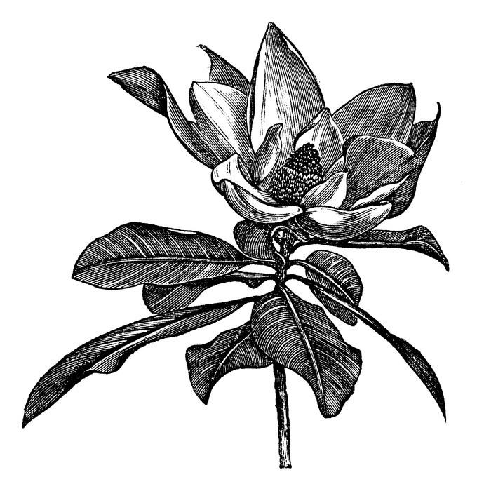 fototapete southern magnolia oder magnolia grandiflora. Black Bedroom Furniture Sets. Home Design Ideas