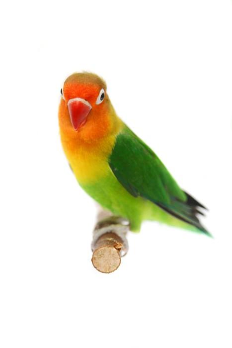 Vinylová Tapeta Lovebird Agapornis fischeri (Agapornis Fischerův) - Nálepka na stěny
