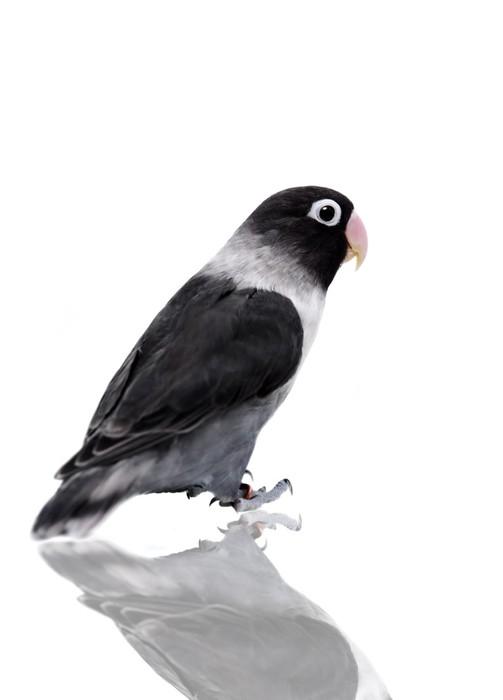 Vinylová Tapeta Černé maskovaný Lovebird na bílém pozadí - Nálepka na stěny