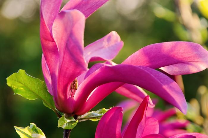 Nálepka Pixerstick Magnolie - magnolie 17 - Roční období