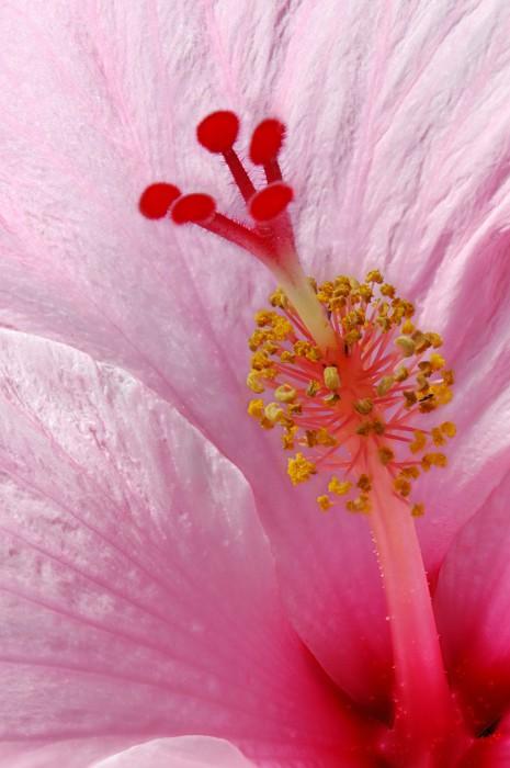 Vinylová Tapeta Hibiscus rosa-sinensis - detailní údaj o Hibiscus - Květiny