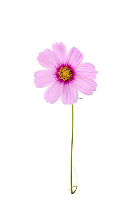 Nálepka Pixerstick Розовый цветок на тонком стебле - Květiny
