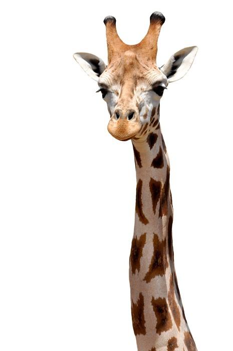 Vinylová Tapeta Giraffe izolovaný - Savci