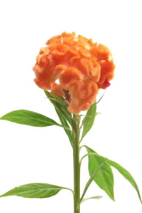 Vinylová Tapeta Orange Celosia Argentea - Květiny