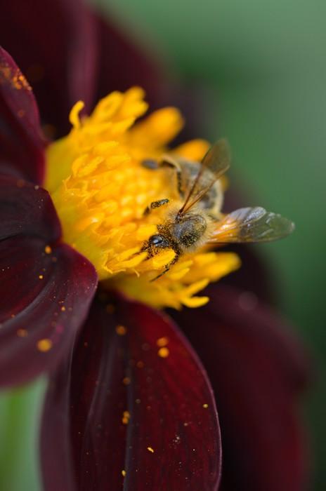 Vinylová Tapeta Makro d'abeille butinant un dahlia - Ostatní Ostatní