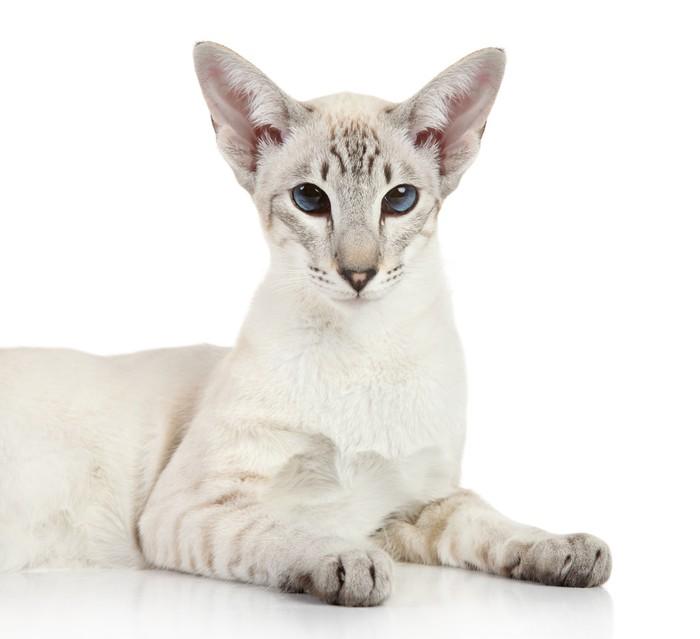 Vinylová Tapeta Oriental Modrá-point siamská kočka - Savci