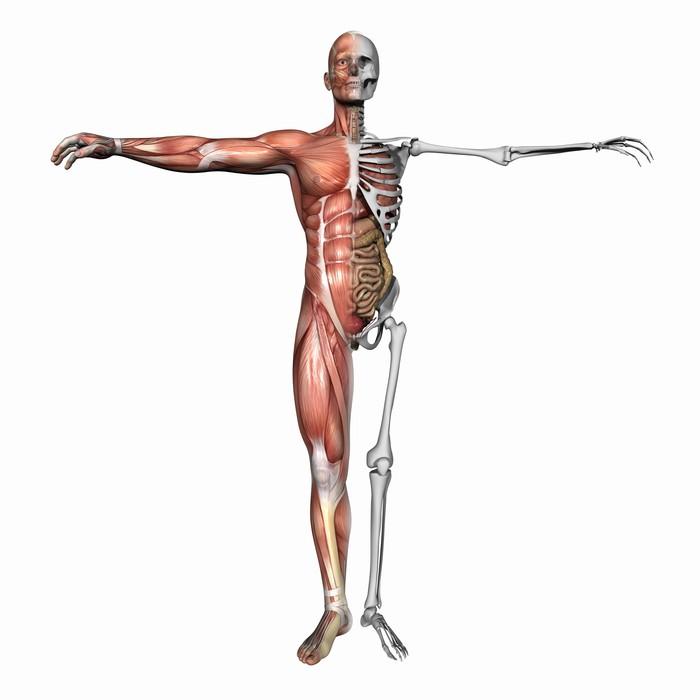 Fototapete Anatomie, Muskeln und Skelett • Pixers® - Wir leben, um ...