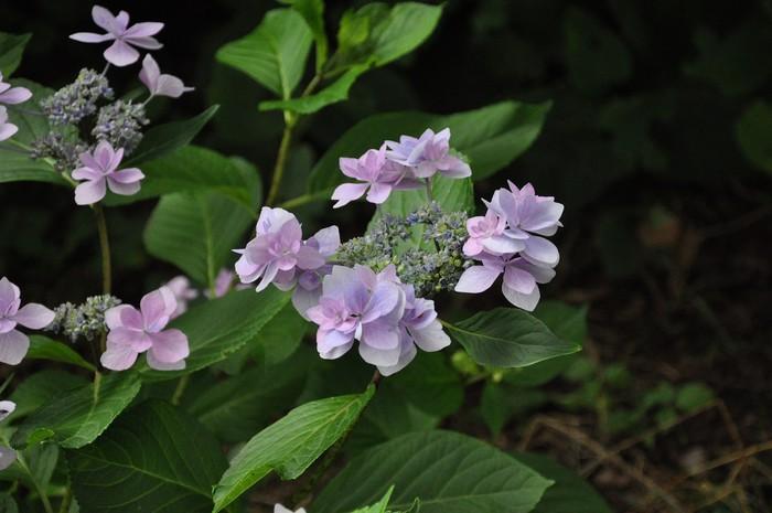 "Vinylová Tapeta Hydrangea macrophylla 'Hanabi blue "" - Domov a zahrada"