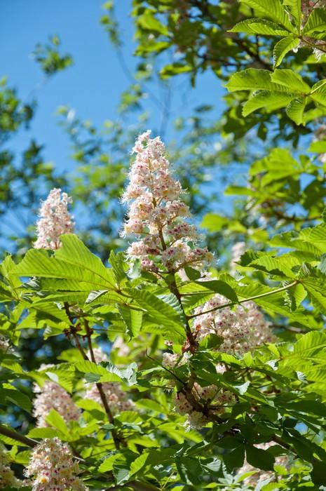 Vinylová Tapeta Krásné Kvetoucí větvičku z kaštanu, jaro - Rostliny