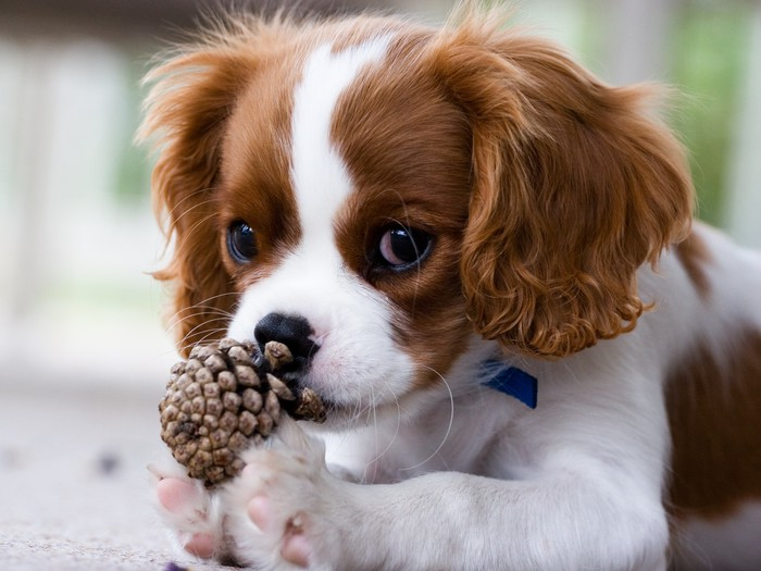 Cavalier king charles spaniel puppy wall mural pixers we live cavalier king charles spaniel puppy vinyl wall mural themes altavistaventures Image collections