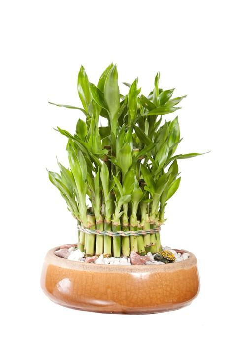 Fototapeta bambus v kv tin i pixers ijeme pro zm nu - Bambu cuidados en maceta ...