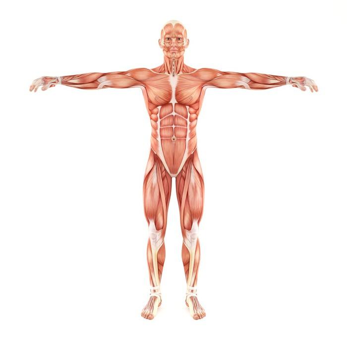 Vinilo Pixerstick Sistema Músculos del hombre anatomía aislado en ...