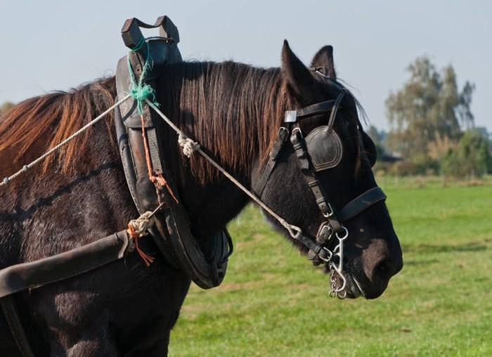 Vinylová Tapeta Portrét hnědého tažného koně - Savci