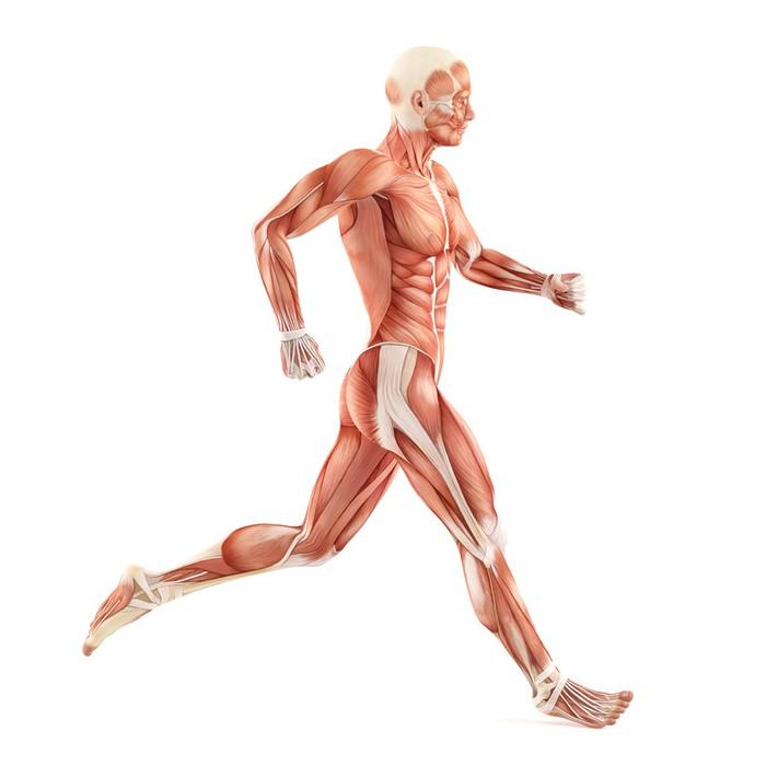 Aufkleber Running man Muskeln Anatomie-System isoliert auf weißem ...