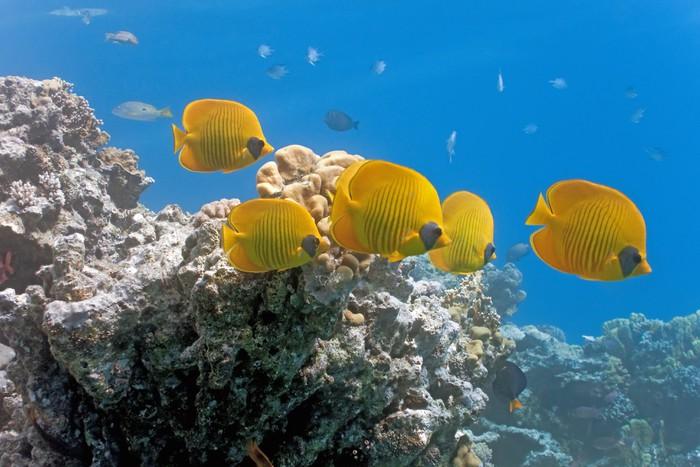 Vinylová Tapeta Hejno Butterflyfish na útesu - Vodní a mořský život