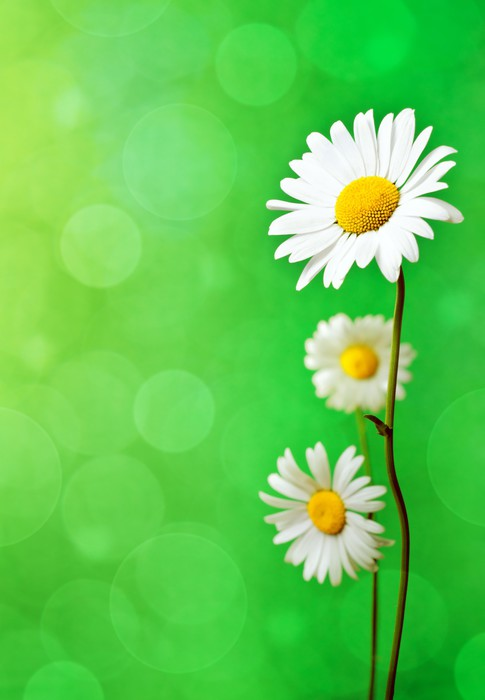 Vinylová Tapeta Daisy květiny - Květiny