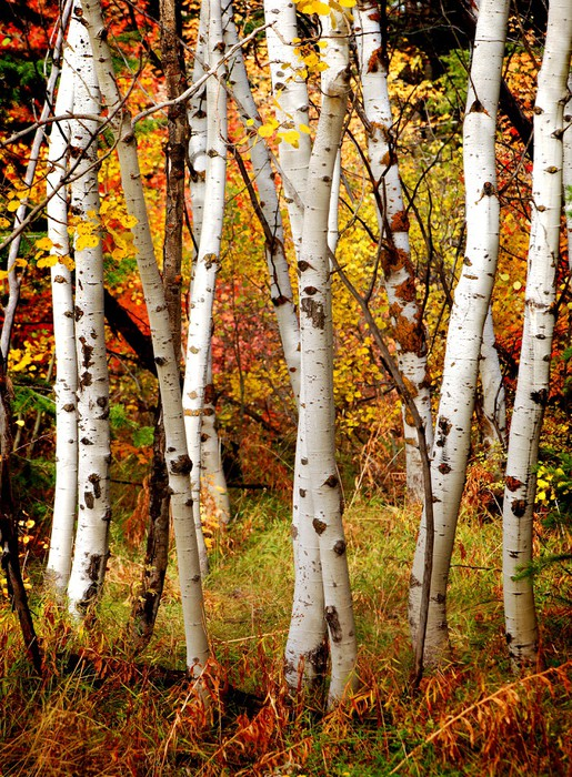 Fall birch trees wall mural pixers we live to change for Autumn tree mural