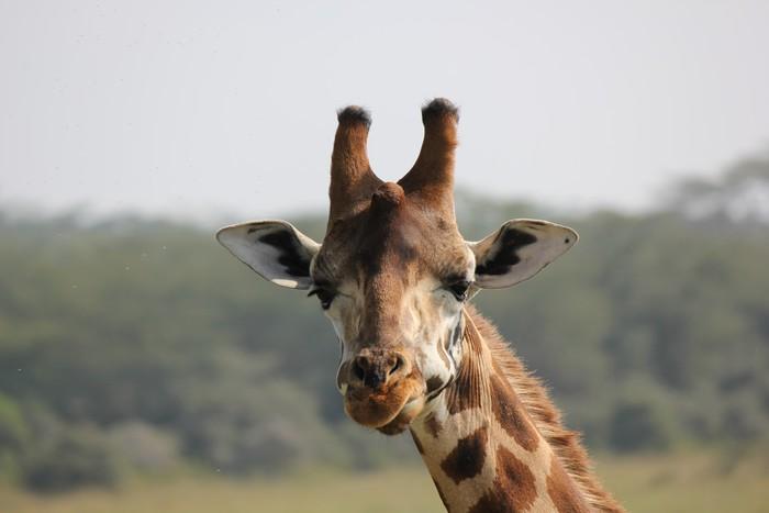 Vinylová Tapeta Žirafa hlava žvýkání - Témata