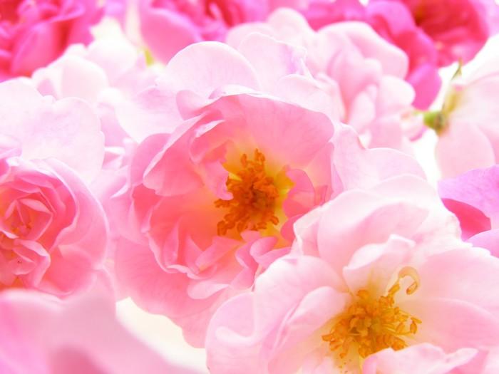 Vinylová Tapeta Pastelové růžové růže - Květiny