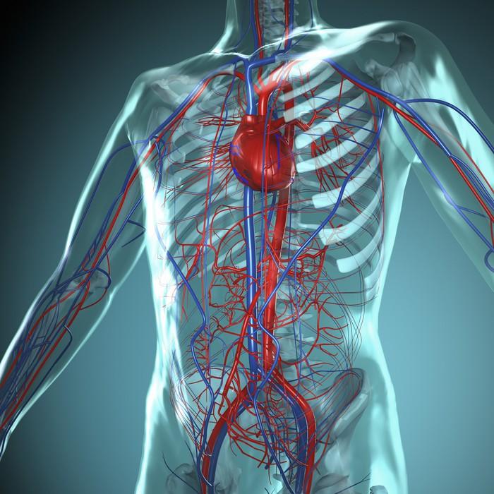 Anatomie Modell, Herz-Kreislauf System des Menschen Wall Mural ...