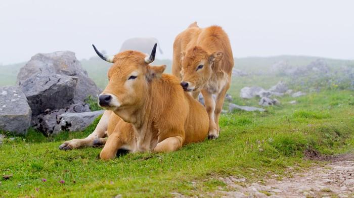 Vinylová Tapeta Brown Cow Asturie (severní Španělsko). - Savci