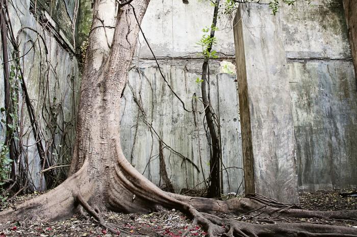 Vinylová Tapeta Velký starý strom - Stromy