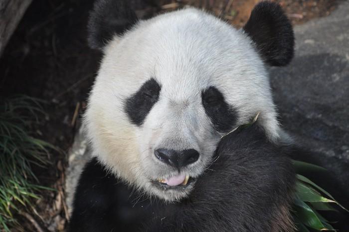 Vinylová Tapeta Panda jíst - Témata