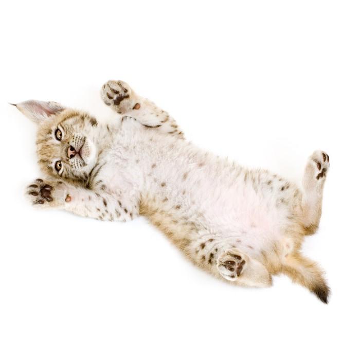Vinylová Tapeta Lynx mládě na zádech v přední části bílém pozadí - Savci