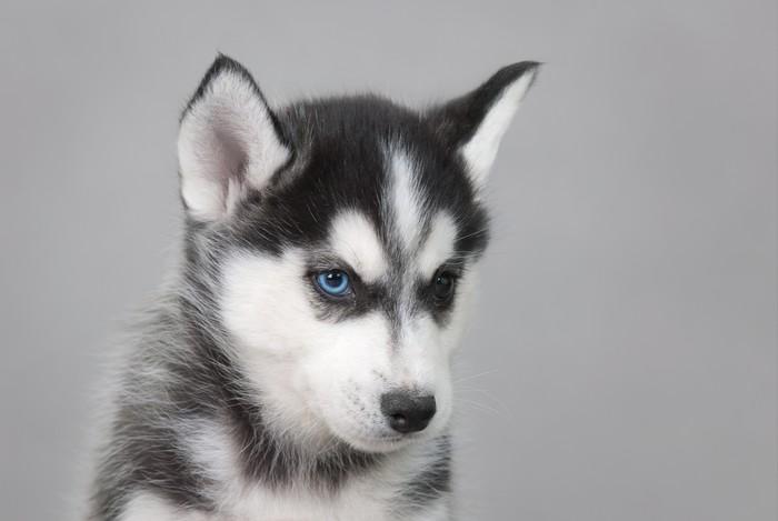 Vinylová Tapeta Husky Puppy - Husky