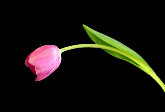 Vinylová Tapeta Zářivá růžová tulipán, proti černému pozadí. - Květiny