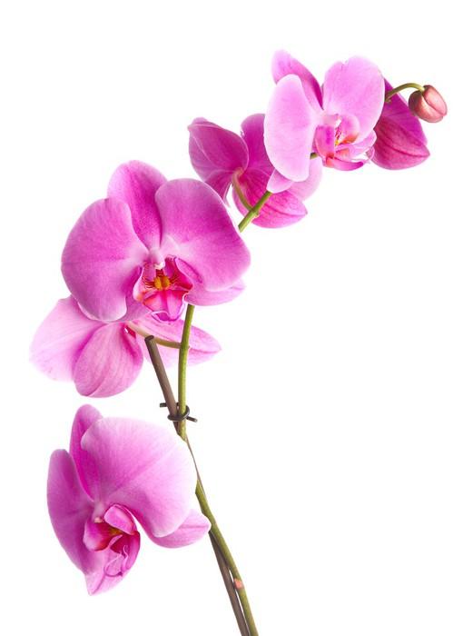 carta da parati fiori rosa orchidea su sfondo bianco pixers viviamo per il cambiamento. Black Bedroom Furniture Sets. Home Design Ideas