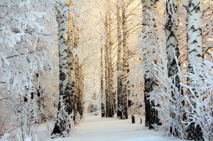winter birch woods in morning light Vinyl Wall Mural - Themes