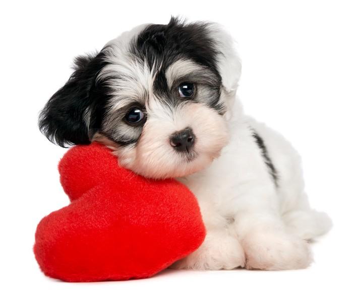 Papier Peint Vinyle Amoureux Valentine Bichon Havanais chiot avec un coeur rouge - Sticker mural