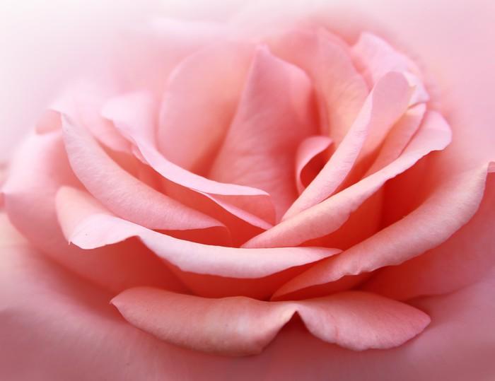 Vinylová Tapeta Nabídka růže - Štěstí