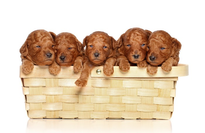 Poodle puppies in basket a white background Wall Mural • Pixers ...