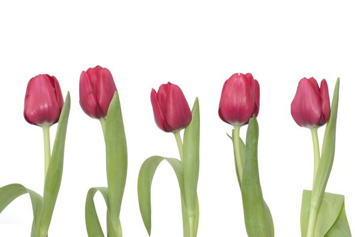 Vinylová Tapeta 5 červené tulipány - Květiny