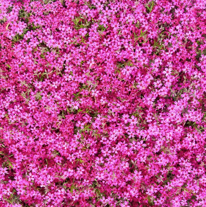 Groundcover with hot pink flowers as background poster pixers groundcover with hot pink flowers as background poster mightylinksfo