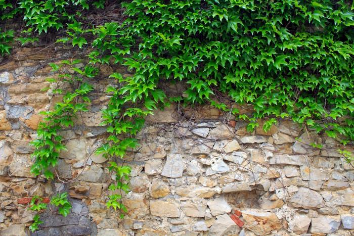 Fotomural una hiedra verde en un muro de piedra un for Casas decoradas con plantas naturales
