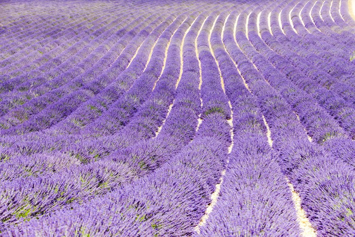 Vinylová fototapeta Levandule pole, plateau de Valensole, Provence, Francie - Vinylová fototapeta