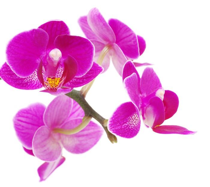 Vinylová Tapeta Pink Orchid - Nálepka na stěny