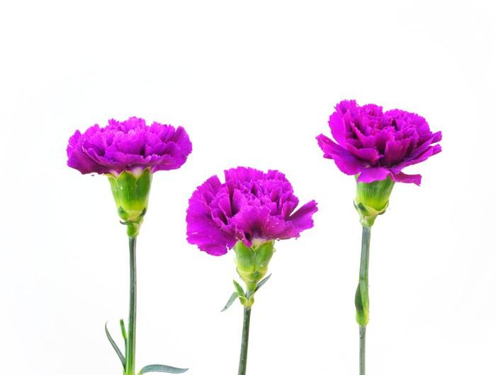 Vinylová fototapeta Řada Carnation květiny na bílém pozadí - Vinylová fototapeta