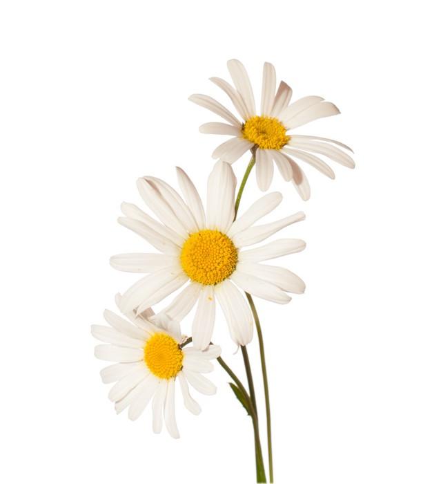 Vinylová Tapeta Tři Chamomiles na bílém pozadí - Květiny