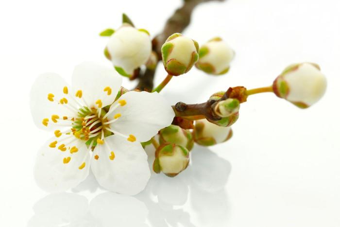 Vinylová Tapeta Apple blossom - Květiny