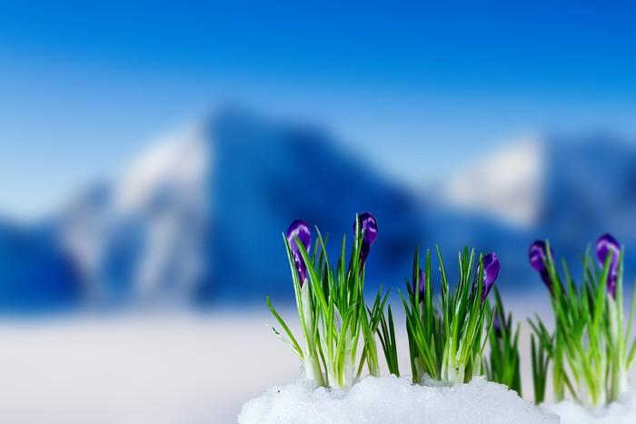 Fototapeta Winylowa Crocus kwiaty w śniegu - Pory roku