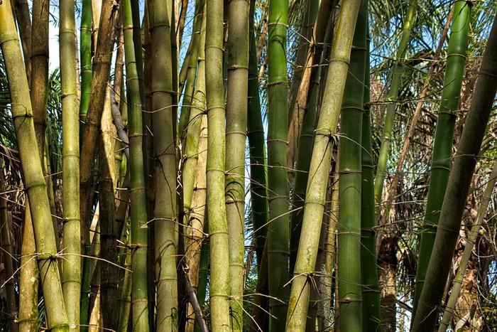 Vinylová Tapeta Náplast z bambusových stromů rostoucích divoce - Rostliny